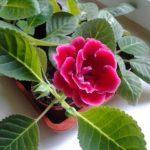 Почему не цветет глоксиния в домашних условиях: что делать, если только выпускает бутоны, которые потом засыхают, можно ли обрезать листья и как поливать?