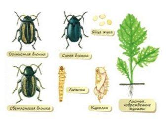 Вредители редиса и борьба с ними: фото и чем обработать посевы от крестоцветной блошки и иных насекомых, какие народные методы и химические средства помогут?