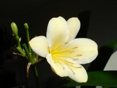 Кливия: киноварная (миниата, оранжевая), белая, нобилис и другие виды растения с их фото, описание и происхождение, уход за ними и размножение, болезни