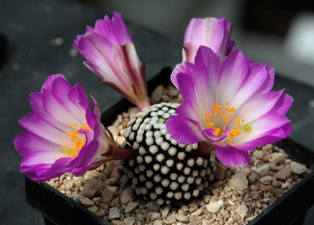 Маммиллярия грацилис (mammillaria gracilis), или стройная — описание и фото растения, а также уход, размножение и борьба с вредителями