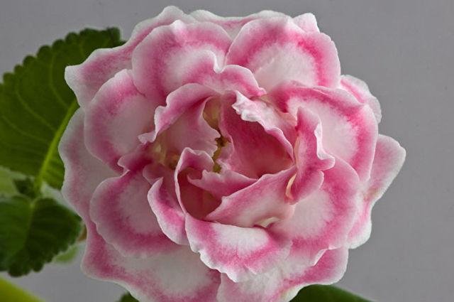 Глоксиния розовая мечта, сказка и феерия: фото с описанием разновидностей растения, способы размножения, а также особенности ухода за цветком