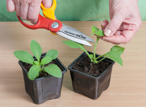 Как прищипывать петунию: как правильно удалить верхний побег и над каким листом, чтоб она шикарно цвела, выращивание и уход за растением, фото
