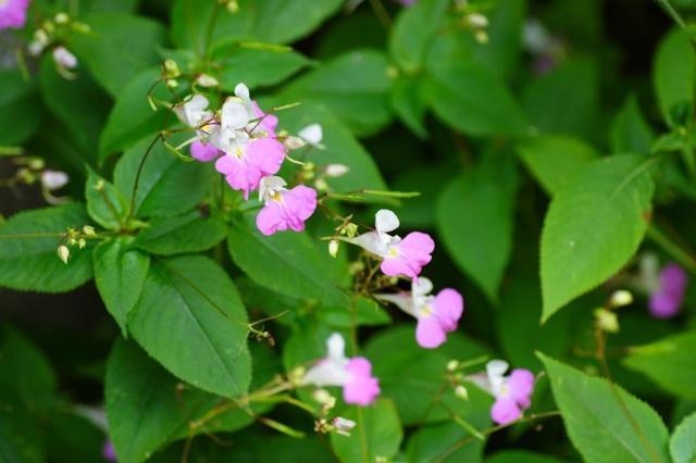 Бальзамин дикий: что это за растение, чем оно полезно и не является ли сорняком, а также советы, как вырастить на приусадебном участке и много фото