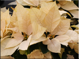Пуансеттия красивейшая или рождественская звезда: фото цветов, можно ли держать молочай прекраснейший дома и как в комнатных условиях ухаживать за растением?