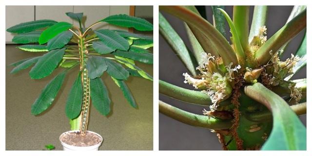 Молочай: описание комнатного цветка, названия видов, а также как выглядит на фото домашнее растение эуфорбия (euphоrbia), похожее на кактус и где растет?