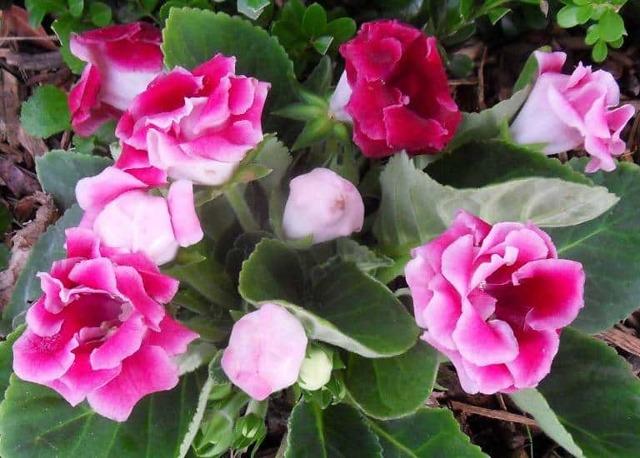 Глоксиния: уход и выращивание в домашних условиях, разведение цветка и внешние опасности