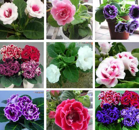 Глоксиния Брокада: что это за сорт цветка, описание красного и синего видов растений, советы по размножению, уходу и выращиванию