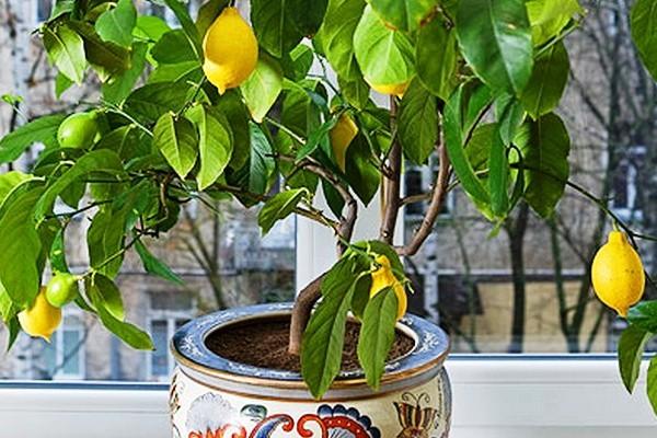 Как посадить лимон из косточки в домашних условиях: пошаговая инструкция, как правильно прорастить семена и выбрать грунт и горшок, фото дерева