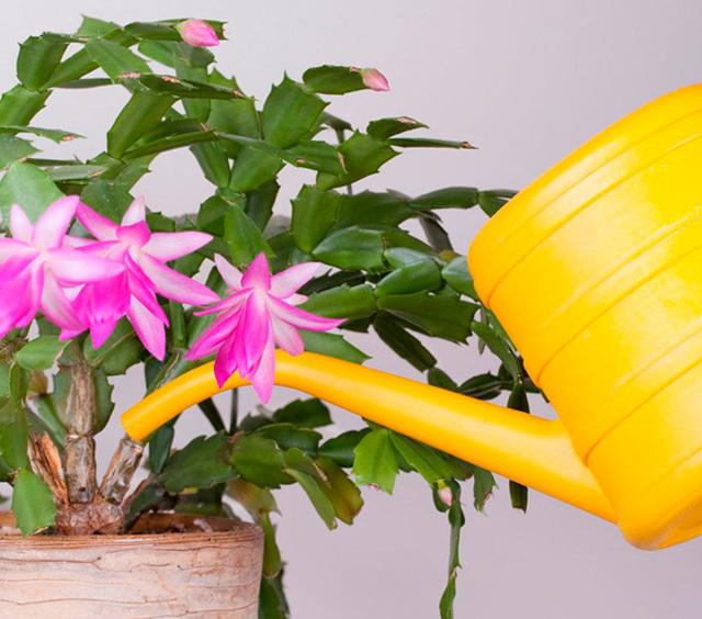 Когда цветет декабрист в домашних условиях: сколько раз в год это происходит, может ли это случиться в январе или феврале и что делать, если период закончился?