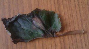 Комнатное растение бегония Диадема: внешний вид, основные особенности, рекомендации по посадке, уходу и размножению, вредители и болезни цветка