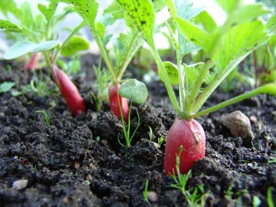 Когда сажать редиску в теплицу из поликарбоната и как проводить посадку: можно ли сеять ранней весной в Подмосковье и других регионах и сорта для выращивания