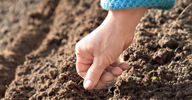 Посадка и уход за редькой маргеланской: сроки посева, разновидности китайского корнеплода и как сажать в открытый грунт, когда собирать урожай?