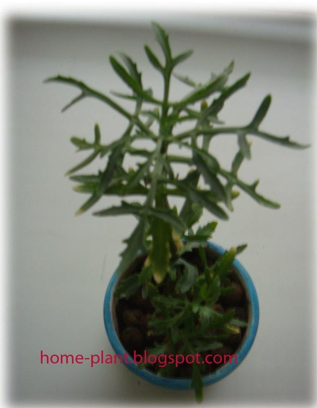 Каланхоэ лациниата: описание Оленьих рожек, разновидности и уход за растением
