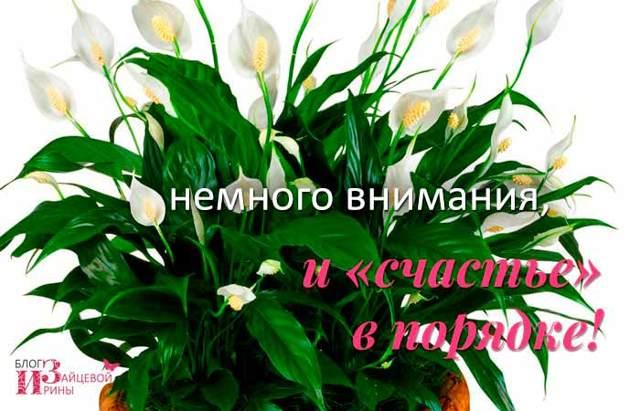 У спатифиллума чернеют кончики: причины, почему у цветка «женское счастье» сохнут бутоны и листья, что делать и какая должна быть профилактика?