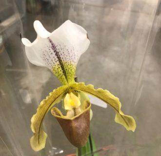 Орхидея пафиопедилум: советы по уходу в домашних условиях и вид растения на фото