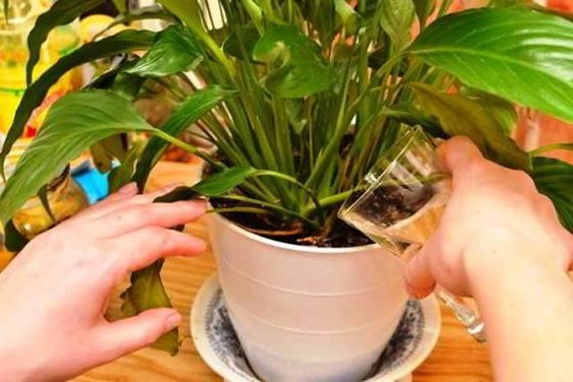 Почему сохнет спатифиллум и что делать, если вянут кончики листьев и другие части цветка Женское счастье, а также каким должен быть уход за ним в домашних условиях?