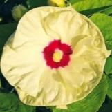 Гибискус травянистый: описание и фото сортов, уход за этим зимостойким уличным многолетником, способы размножения, борьба с болезнями и вредителями, похожие цветы