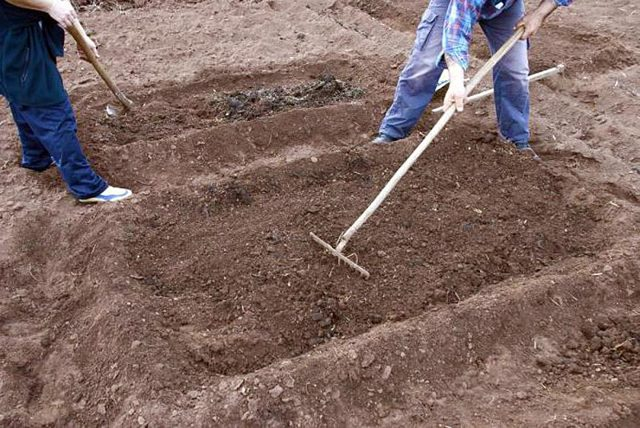 Редька зеленая: когда сажать в открытый грунт семенами и сеять для теплицы, сроки посадки в разных регионах, схема размещения на грядке, уход и защита от болезней