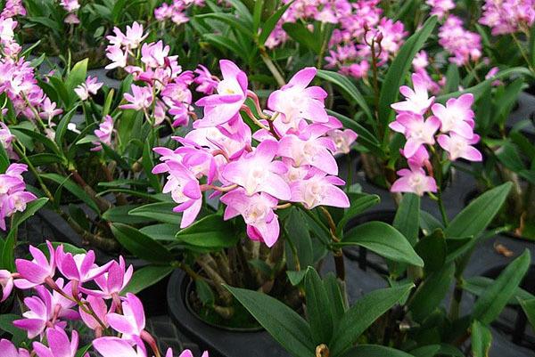 Орхидея дендробиум нобиле: какие еще бывают сорта  и каковы правила ухода в домашних условиях, фото видов растений