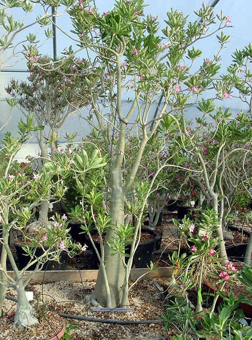 Адениум: Мини (mini size), Толстый, Анук, Махровый, Бонсай, Сомалийский (Сомаленсе), Альбинос, а также описание и фото других видов и сортов комнатного растения