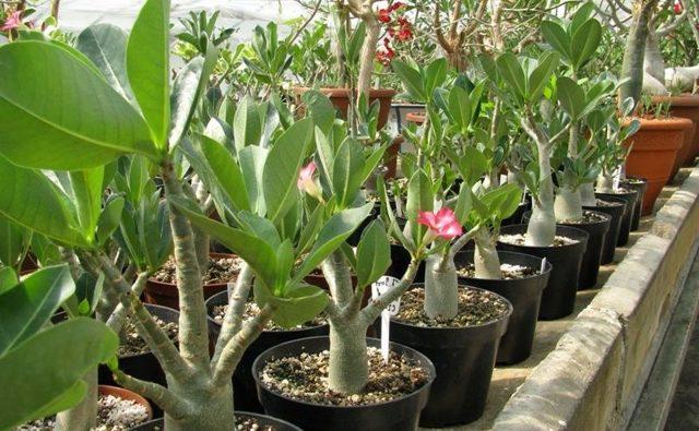 Уход за адениумом в домашних условиях: фото цветка «Роза пустыни», выбор горшка и необходимая почва, удобрения и полив, прививка и пикировка, подготовка к зиме