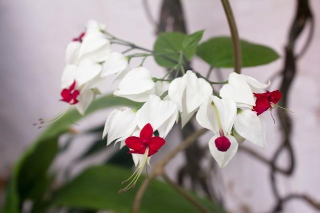 Клеродендрум Томпсона: общая информация о цветке, другие виды и их особенности, уход за этими комнатными растениями, а также фото для примера