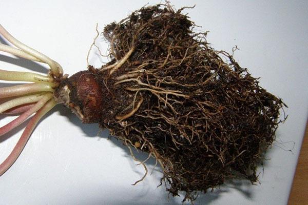 Болезни цикламена: что делать для лечения, если упали цветы или появился серебристый налет на листьях, а также фото серой плесени и других недугов