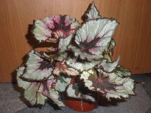 Бегония декоративно-лиственная нецветущая: что это за вид комнатного растения, нюансы ухода и размножения в домашних условиях, а также фото с названиями сортов