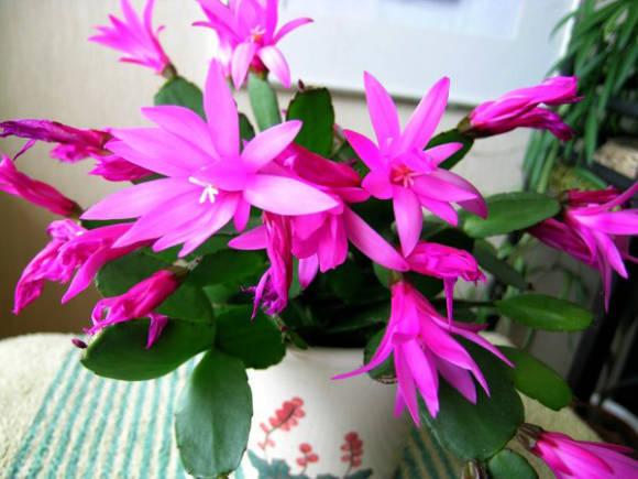 Хатиора (hatiora): названия с описанием и фото видов растения таких как Гермина и Солеросовая, отличие кактуса от рипсалиса, а также ядовит комнатный цветок или нет