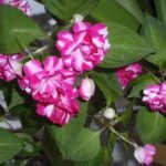 Бальзамин выращивание и уход в домашних условиях: способы размножения комнатного цветка, вредители и болезни, а также способы борьбы с ними