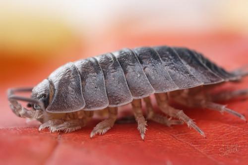 Чем опасны мокрицы для человека, растений, домашних питомцев и квартиры: угрожают ли эти насекомые здоровью, надо бояться их укуса или нет, зачем с ними бороться?