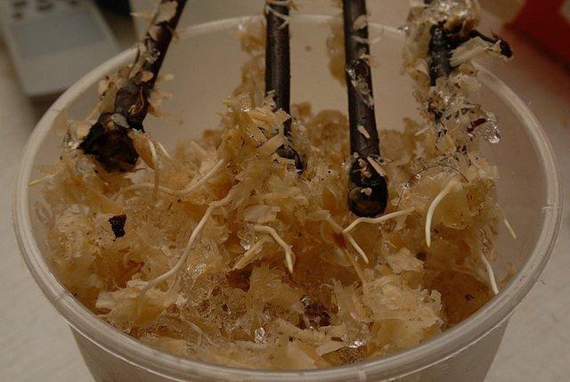 Гранат в домашних условиях: фото комнатного дерева в горшке, подробное описание размножения и ухода, как выращивать, можно ли посадить отводок и как привить черенок?