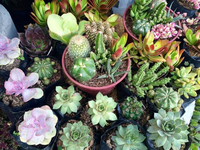 Как рассадить кактус: размножение детками в домашних условиях, как взять, правильно отделить и укоренить отросток с корнями или без них, что делать дальше, дано фото