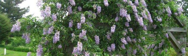 Сорта глицинии и виды Вистерии (wisteria) на фото: белая японская, морозостойкая Макростахия Блю Мун (macrostachya blue moon), Блэк Дракон и  другие названия
