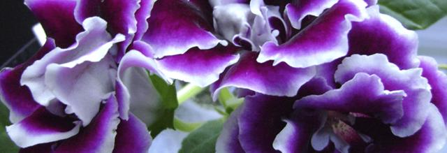 Глоксиния Кайзер Вильгельм и Фридрих: история появления, особенности внешнего вида, способы размножения и уход за цветком, вредители и болезни растения, фото