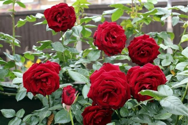 Выращивание плетистых роз и уход весной и летом, осенью и зимой, полив и пересадка, обрезка и подготовка к холодам — инструкция для новичков и частые ошибки