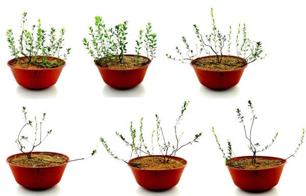 Размножение азалии в домашних условиях: фото комнатного рододендрона, уход за цветком, а также в чем особенности деления растения отводками, черенкования и прививки