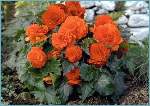 Бегония садовая: описание травянистого растения, фото уличного цветка, посадка, выращивание и уход в открытом грунте