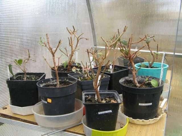 Как сохранить фуксию зимой в подвале, погребе или квартире: подготовка цветка к содержанию в различных условиях, а также надо ли обрезать растение