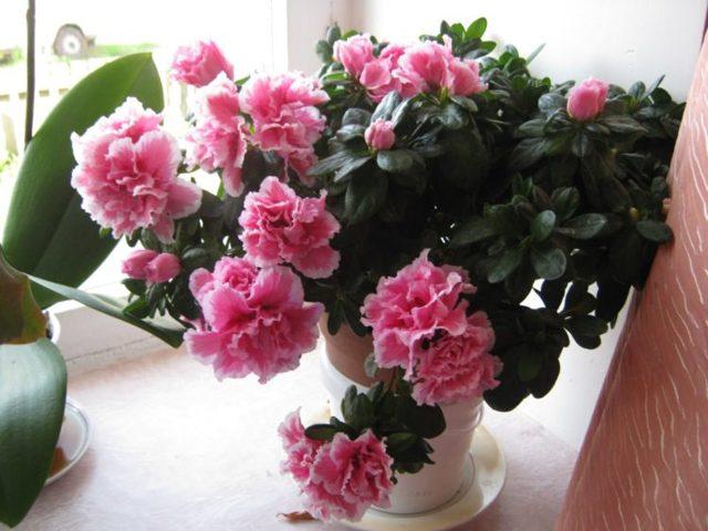 Азалия: уход в домашних условиях после покупки в магазине, что делать дальше, как сохранить комнатный рододендрон в горшке, если он вянет и опали листья, фото цветка