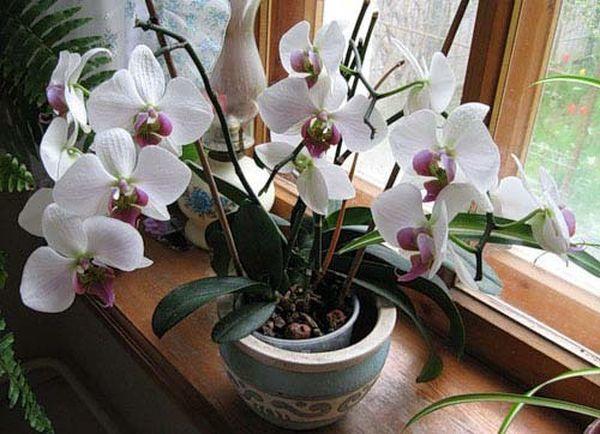 Фаленопсис: фото комнатного растения с подробным описанием и названиями, а также советы по уходу и как вырастить и разводить в домашних условиях