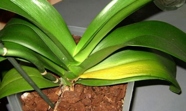 Почему желтеют листья у орхидеи фаленопсис: что делать с этим, от чего будут зависеть способы лечения нижних и верхних вегетативных органов?