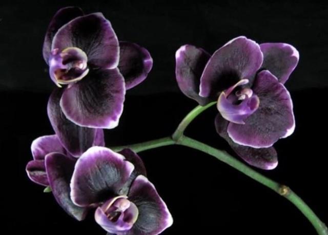 Орхидея Каода: подробное описание, подсорта, фото растения, пошаговая инструкция по уходу, а также какие есть болезни и вредители