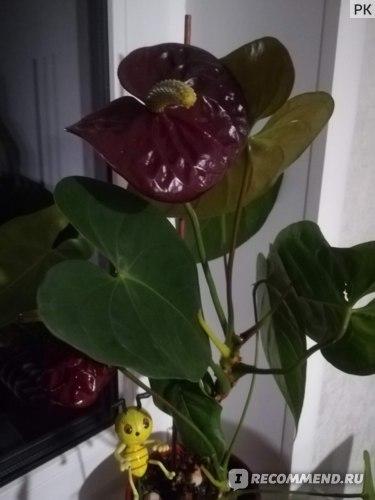 Антуриум Блэк Квин (anthurium
