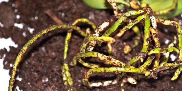 Гниют корни у орхидеи фаленопсис: что делать, чтобы спасти шейку от серой и корневой гнили, какие существуют препараты для лечения этого недуга?