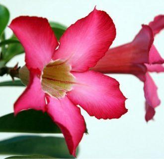 Адениум тучный: описание комнатного растения, его фото и уход в домашних условиях, а также особенности выращивания и представляемая опасность