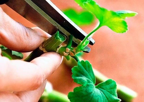Герань - обрезка для пышного цветения: виды и особенности, как правильно сделать, чтобы сформировать пушистый куст, а также срок и технология