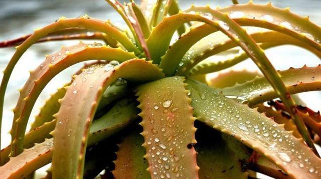 Болезни алоэ с фото: почему комнатное растение плохо выглядит, не развивается, как спасти, чем пользоваться от вредителей, а также  лечение в домашних условиях