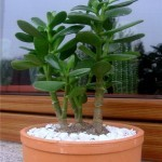 Крассула Сансет, или овата: описание денежного дерева с листьями, окантованными красным, уход за цветком в домашних условиях, размножение и возможные проблемы