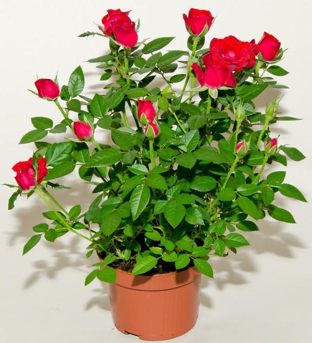Как размножить комнатную розу: советы, каким образом посадить цветок в домашних условиях и осуществить уход за ним, а также можно ли разводить растения зимой?